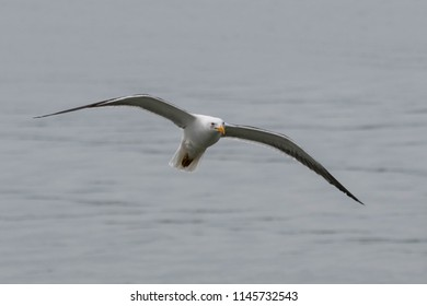 Sea bird flies over harbour waters (Itajai, Brazil)