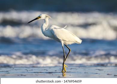 Sea bird hunting on the shore of Hilton Head Island South Carolina