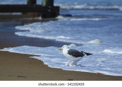 Sea bird at Outer Banks, North Carolina