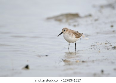 Sea bird Sanderling in Dublin bay - Ireland