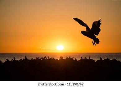 Sea birds at sunset Cape Jervois