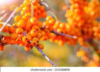 Sea buckthorn berries, close up. Sea-buckthorn bush with yellow fruits ( Hippophae rhamnoides, Sandthorn, Sallowthorn or Seaberry ), closeup