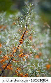 Sea buckthorn bush with yellow berries (Hippophae rhamnoides, Sandthorn, Sallowthorn or Seaberry)