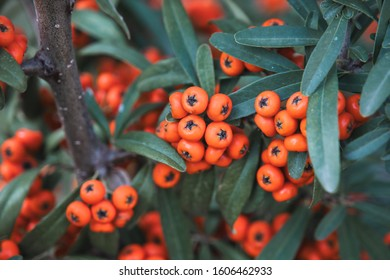 Sea buckthorn closeup photo, it's known as seaberry, the plant's color is beauty orange