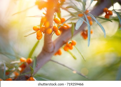 Sea buckthorn growing on a tree close up (Hippophae rhamnoides). Sea buckthorn organic berries background. Medical plant