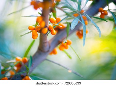 Sea buckthorn growing on a tree close up (Hippophae rhamnoides). Sea buckthorn organic berries background. Medical plant.