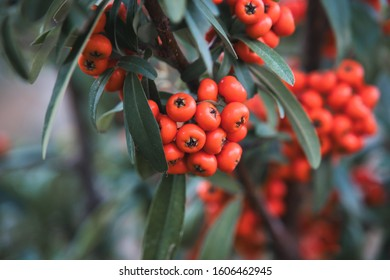 Sea buckthorn, it's known as seaberry, close up photo of orange seaberry