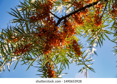 Sea buckthorn. Orange sea buckthorn berries cling to a tree branch. Bright berries on a background of blue sky