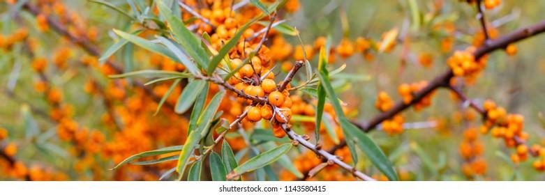 Sea buckthorn orange - yellow berries ( Hippophae rhamnoides, Sandthorn, Sallowthorn or Seaberry ), close up banner
