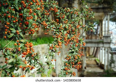 Sea buckthorn with red berries