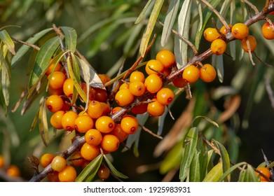 SAB Trimegavitals. All-Natural Beta Carotene in Sea Buckthorn Oil