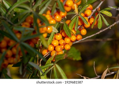 Sea buckthorn, shallow depth of field blurred. The use of juices, compotes, wines, sea buckthorn oil. This oil is used in medicine and cosmetology, it is part of lotions, ointments, medicines.