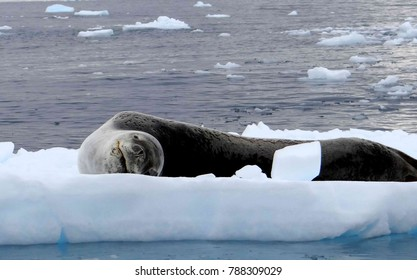 sea cat resting on an ice floe
