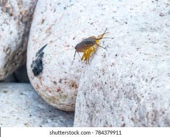 Sea cockroach image