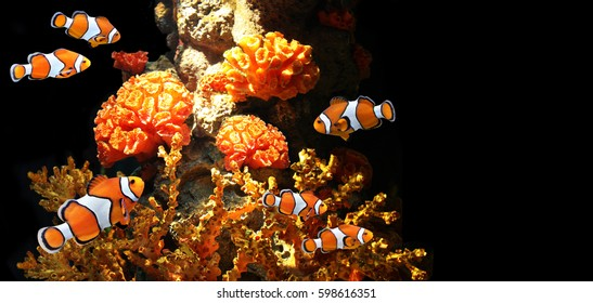 Sea corals and clown fish in marine aquarium. On black background with copy space