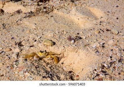 Sea crab on the sandy beach.