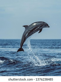 sea dolphin jumping