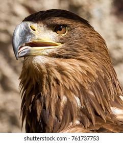 Sea Eagle Bird