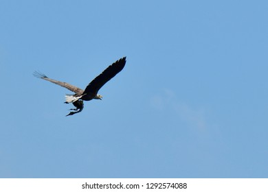 Sea eagle with crested grebe as prey in flight