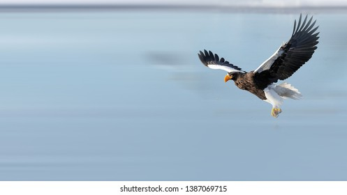 Steller's Sea Eagle foraging in ice and snow