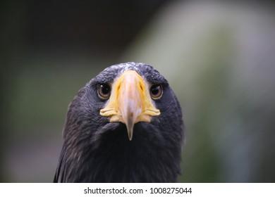 sea eagle portrait
