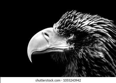 sea eagle portrait in black and white