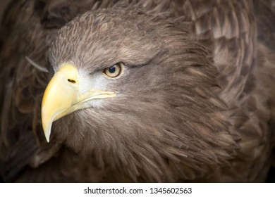 Sea eagle in profile close up