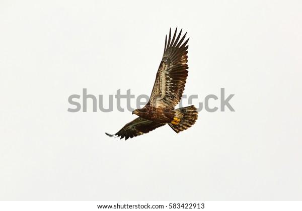 Sea eagle, sea eagle, Seward, Alaska, USA