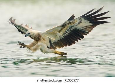 sea eagle spread his wings ready to attack his prey
