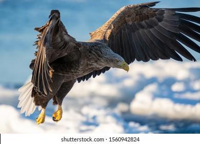 Sea Eagles in Rausu, Hokkaido, Japan