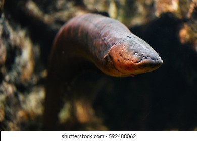 Sea eel in aquarium.