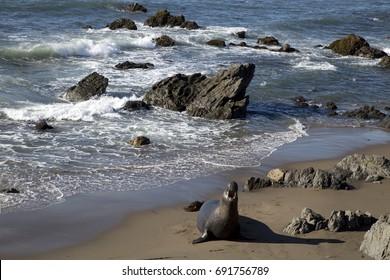 Sea elephant at the coast in california