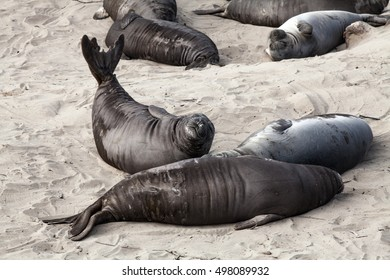 Sea elephant pups and females relaxing on the beach at Año Nuevo State Park, California, USA