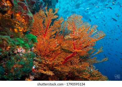 sea fan coral underwater photography