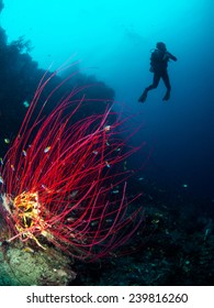 Sea Fan with diver in Raja Ampat