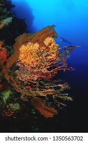 sea fan image in sipadan