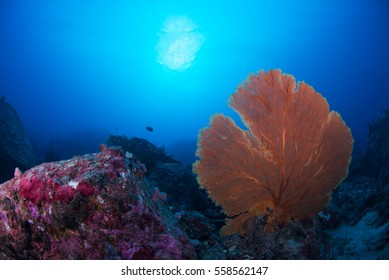 Sea fan nature coral underwater ,wildlife of scuba diving reef in ocean