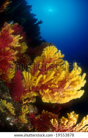 Sea fans in a colorful Mediterranean seabed