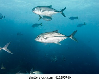 sea fish Big fish Fish herd nature Lowly trevally Underwater photo Coral reef