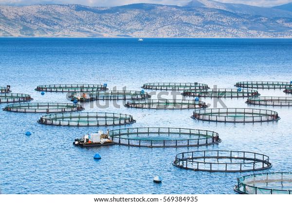 La ferme de poissons de mer. Des cages pour le dorado de pisciculture et le fond marin. Les ouvriers nourrissent le poisson de fourrage.