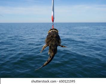 sea fish lophius piscatorius on fishing rod