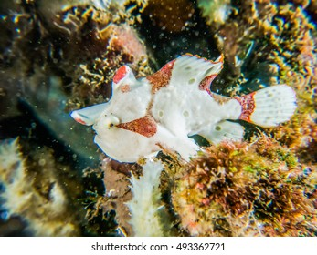 Sea Frog;Clown Frogfish ;Frogfish;Red-white belt coral reefs macro Beside