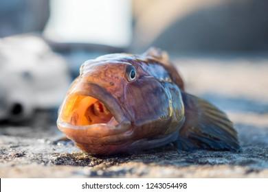 Sea goby. Monkey goby fish.
