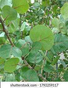 Sea Grape Tree Leaves in Nature