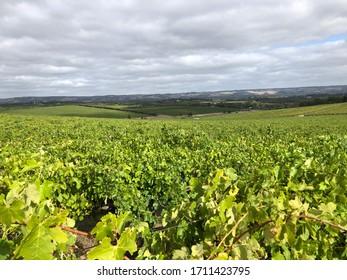 A sea of grape vines, South Australia