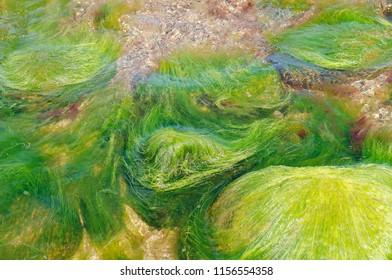 sea green algae, rocks in the sea overgrown with algae