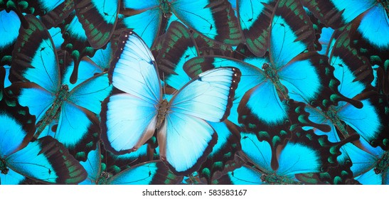 Sea Green Swallowtail and blue morpho butterflies natural  background