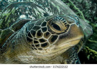 Sea Green Turtle, Chelonia Mydas.
