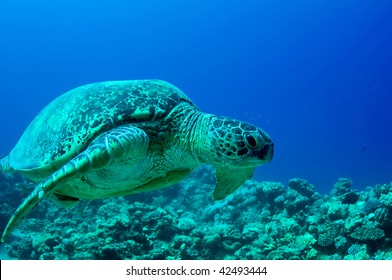 sea green turtle a underwater view. red sea, egypt.