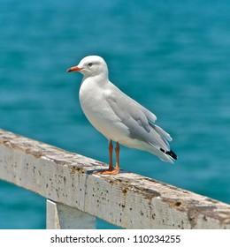 Sea gull at the beach in Melbourne, Australia
